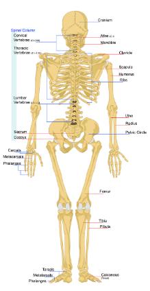 begini fungsi dari tulang kering kita